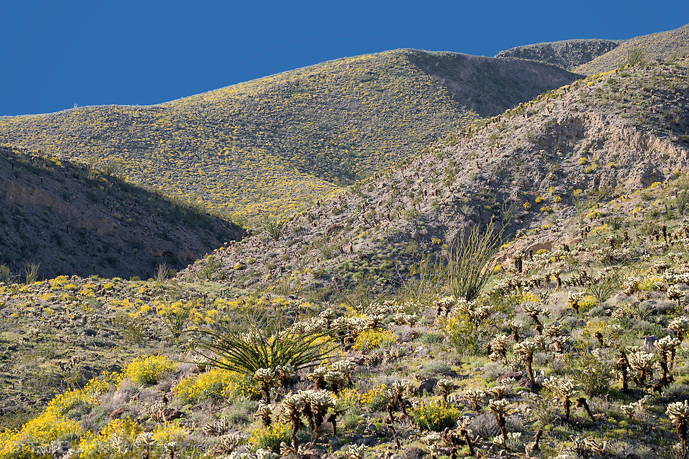 Brittlebush (Encelia farinosa), Cholla (Opuntia fulgida), and Ocotillo (Fouquieria splendens) in springtime on the mountainsides, Anza-Borrego Desert, California, USA