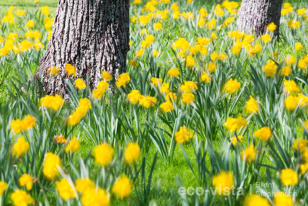 Daffodils (Narcissus sp.) in full flower during a sunny spring day in Nelson, surrounding the trunks of oak (Quercus sp.) trees. Motion blur during a long exposure photo. Nelson, South Island, New Zealand. September.