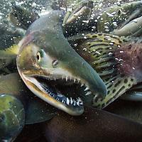 USA, Alaska, Katmai National Park, Underwater view of spawning Red Salmon (Oncorhynchus nerka) along Kuliak Bay