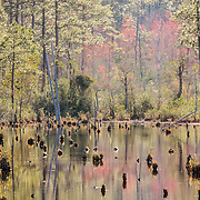 Dozens of turtles — yellow-bellied sliders — rest on exposed stumps as the late afternoon sun shines on Pool C in the Carolina Sandhills National Wildlife Refuge in South Carolina.