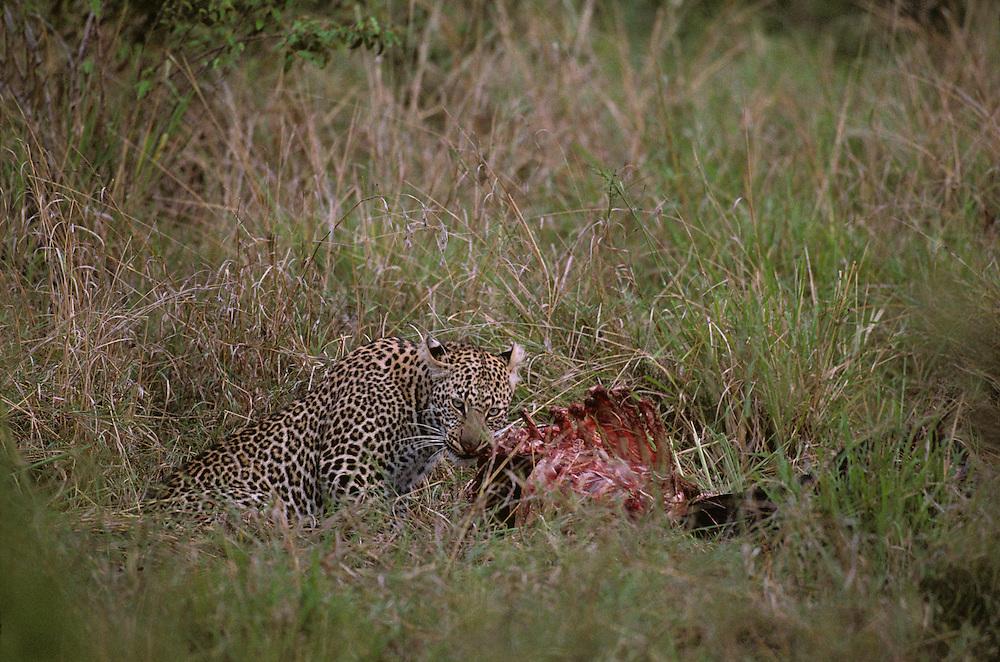 Africa, Kenya, Masai Mara Game Reserve, Adolescent Male Leopard (Panthera pardus) feeding on Wildebeest kill