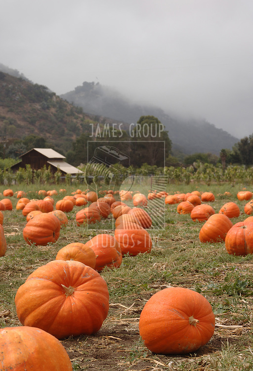 Pumpkin patch with barn mist rolling over the hills in the background