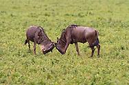 Two wildebeest (Connochaetes taurinus) sparring, Ngorongoro Crater, Tanzania, Africa