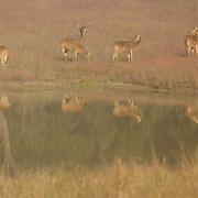 Chital Deer at Watering Hole in Kanha National Park, India