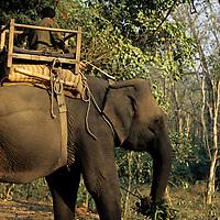 Asia, Nepal, Chitwan. Elephant taking a break in Chitwan National Park.