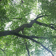 Daytime shot of the sky through a canopy of pecan limbs.