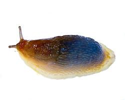 Great Gray Slug, Limax maximus, found in Rye, New Hampshire.