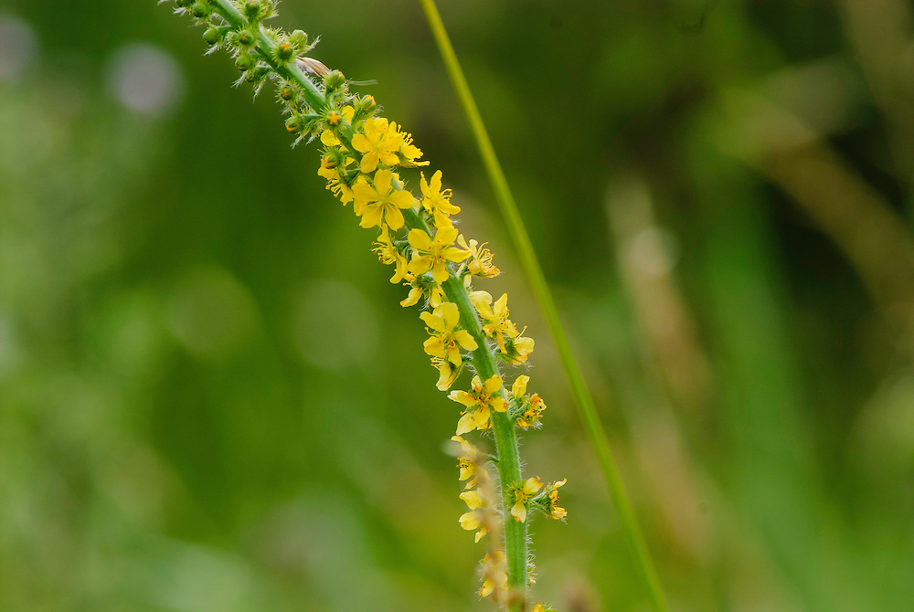 Gewone agrimonie, Agrimonia eupatoria