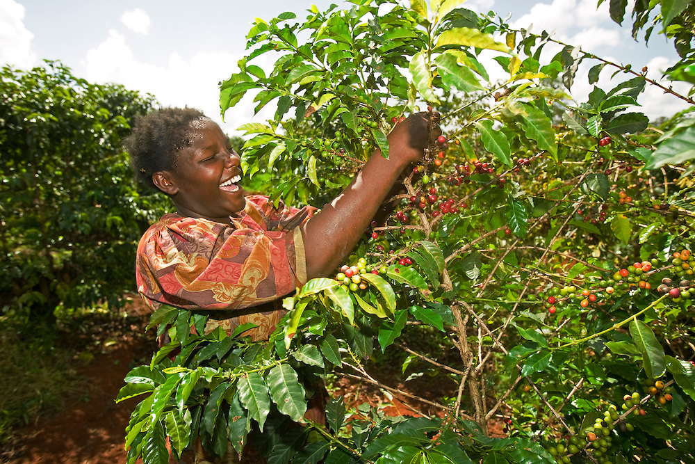 Africa, Kenya, Ruira, (MR) Young woman picking Arabica coffee beans from tree during harvest at Oakland Estates plantation