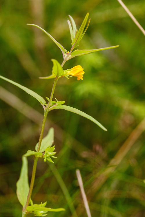 Boshengel, Melampyrum sylvaticum