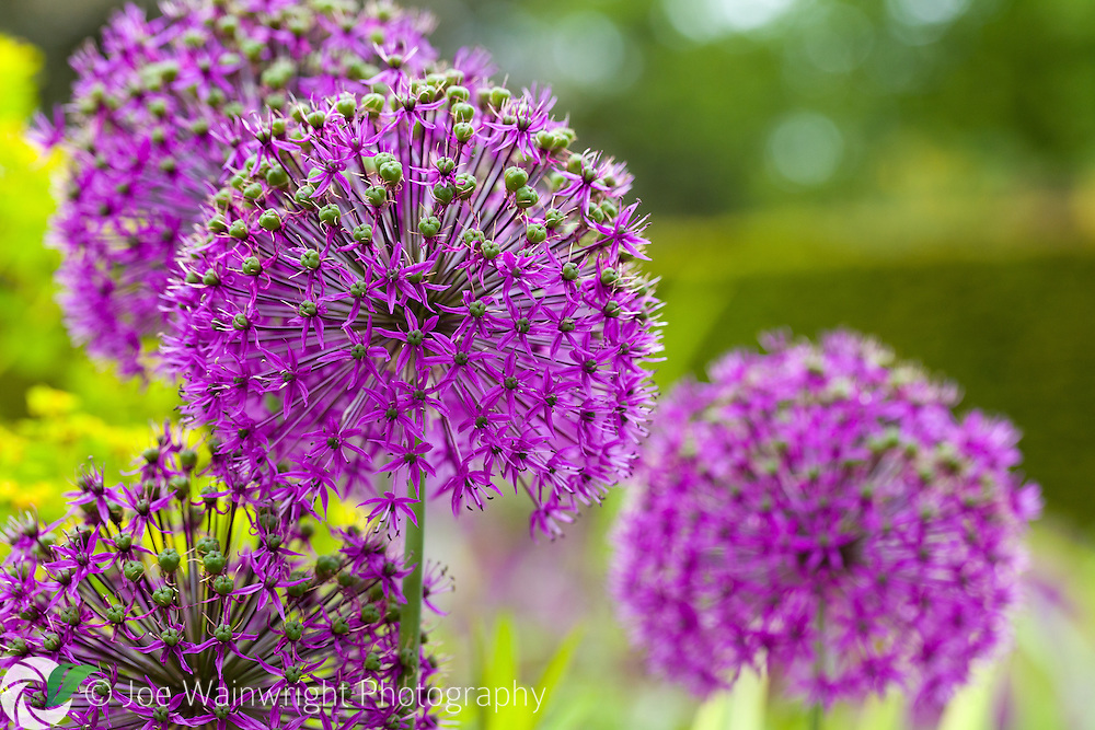 Alliums at Abbeywood Gardens, Cheshire