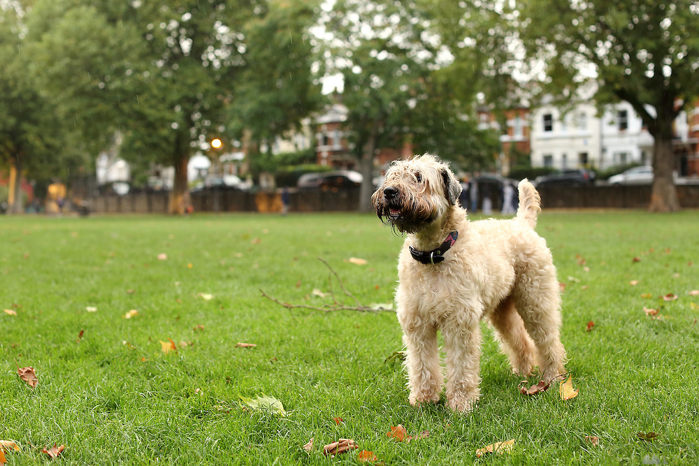 This is Dora, a six-year-old Wheaten Terrier