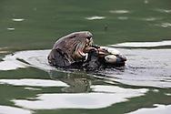 California Sea Otter eating a clam - Elkhorn Slough, California