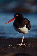 American oystercatcher resting, Haematopus palliatus, Galapagos Islands