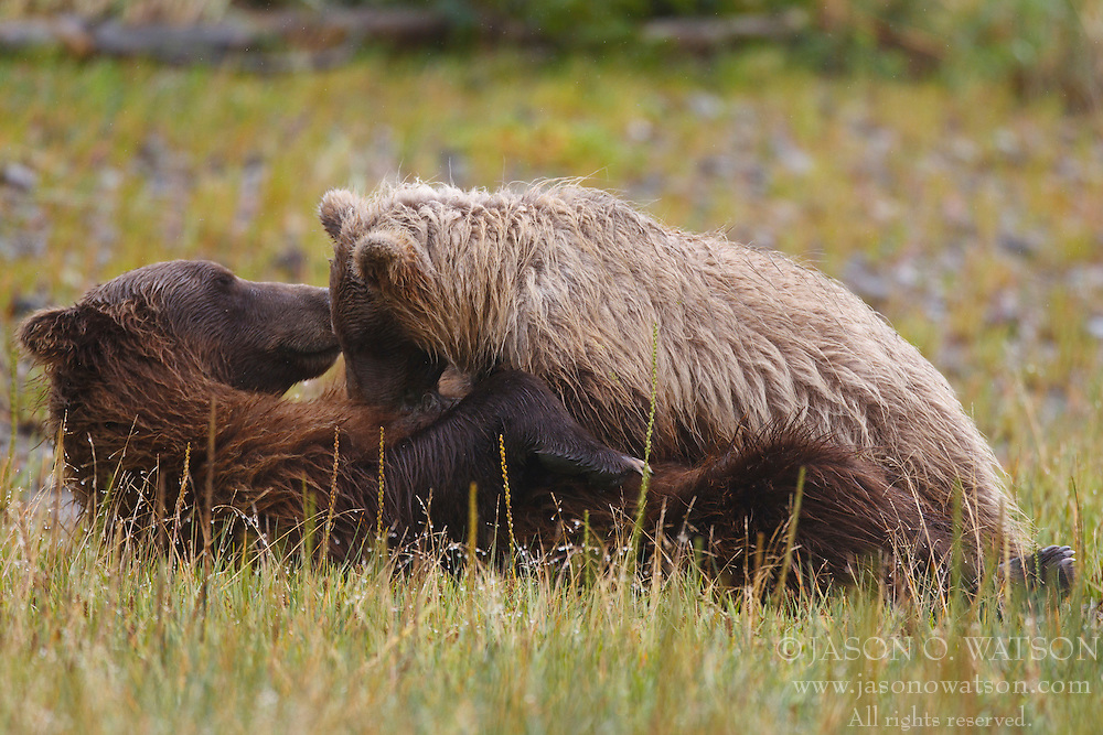North American brown bear / coastal grizzly bear (Ursus arctos horribilis) cub nursing with sow in a field, Lake Clark National Park, Alaska, United States of America