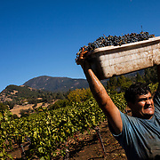 Day breaks on the autumn Cabernet Sauvignon grape harvest at Barberis Vineyard in Calistoga, California.