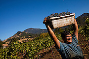 A farmworker collects Cabernet Sauvignon grapes during the autumn harvest at Barberis Vineyard in Calistoga, California.