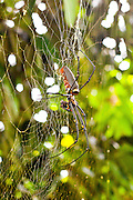 Golden Orb Web Spider with prey at Sabah Tea House