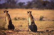 Two Cheetah brothers scan the horizon for prey movements, Savuti channel, Botswana.