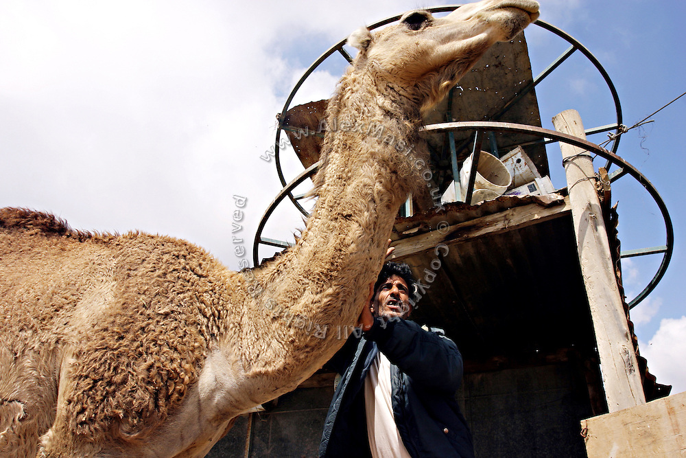 Rahim, a 45-year-old Bedouin man, is taking care of his camel in the unrecognised village of Tarrabin el Sana, close to BeerSheva, the capital of the Negev, a large deserted area in the south of Israel. The village, bordering the wealthy Israeli settlement of Omer, is surrounded by barbed wire and bound to be demolished as it is deemed illegal by the authorities, willing to further expand Omer's borders. Numbering around 200.000 in Israel, the Bedouins constitute the native ethnic group of these areas, they farm, grow wheat, olives and live in complete self sufficiency. Many of them were in these lands long before the Israeli State was created and their traditional lifestyle is now threatened by subtle Governmental policies. The seven Bedouin towns already built are all between the 10 more impoverished towns in Israel..