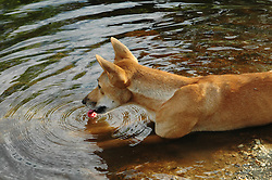 Honey, an Australian Dingo (Canis lupus dingo) drinks from a freshwater pool at Mt Hart Wilderness Lodge on the Gibb River Road. As the apex predator, dingos play an important role in balancing the ecosystem and controlling feral cats.