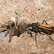 Tarantula Hawk.Pepsis or hemipepsis sp..Mimbres Valley, New Mexico, United States.28 July       Adult dragging paralyzed female tarantula to burrow.       Pompilidae: Hymenoptera
