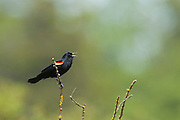 A male red-winged blackbird (Agelaius phoeniceus) sings from its perch near Swan Lake in Victoria, British Columbia, Canada.