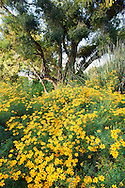 Blooming Yellow Chi Chi Flowers in Australian Garden at The Huntington, San Marino, California