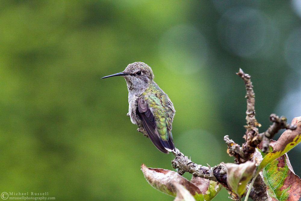 A Female Anna's Hummingbird (Calypte anna) perched in a tree. This is most likely a female Annas but it could be a juvenile.   Photographed during the summer in the Fraser Valley of British Columbia, Canada.