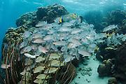 Bluestriped Grunt (Haemulon sciurus), Gray Snapper (Lutjanus griseus)<br /> Hol Chan Marine Reserve<br /> near Ambergris Caye and Caye Caulker<br /> Belize<br /> Central America