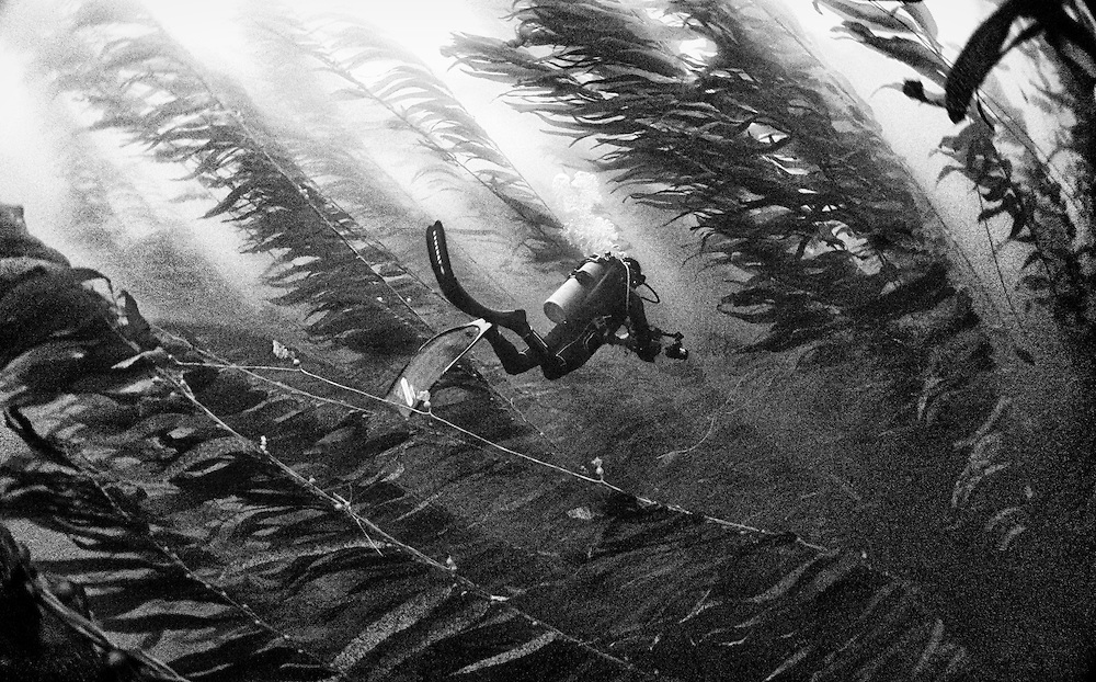 Diving in a forest of kelp near Ilsa Cedro, M&eacute;xico.<br /> <br /> Few times, when you get lucky, you can see great white sharks chasing sea lions in between the kelp.