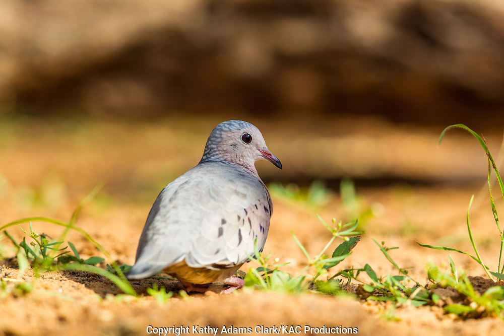 Common ground-dove, Columbina passerina, San Jose Ranch, near Laredo, Texas.