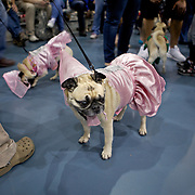 Waiting to be judged in the ready made costume contest..The 6th Annual Milwaukee Pug Fest was held Sunday May 16. 2010 at the Milwaukee Sports Complex in Franklin, Wisconsin.