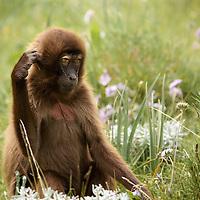 Female gelada baboon peering suggestively toward the camera on the Guassa Plateau of the Ethiopian Highlands