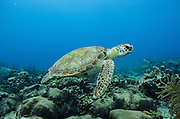 Green Turtle (Chelonia mydas)<br /> BONAIRE, Netherlands Antilles, Caribbean<br /> HABITAT &amp; DISTRIBUTION: Throughout tropical and subtropical seas around the world, with two distinct populations in the Atlantic and Pacific Oceans.<br /> IUCN STATUS: ENDANGERED SPECIES