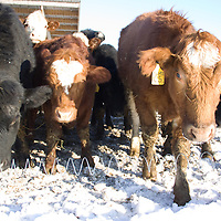 Maine Anjou cattle are recognizable by their light red coats with white spotting or sometimes all black coats. Meat from the Maine Anjou is known for having excellent marbling and a delicious beefy flavor..