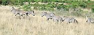 Common zebra ( Equus quagga ) Masai Mara National Park. Kenya. Africa<br />