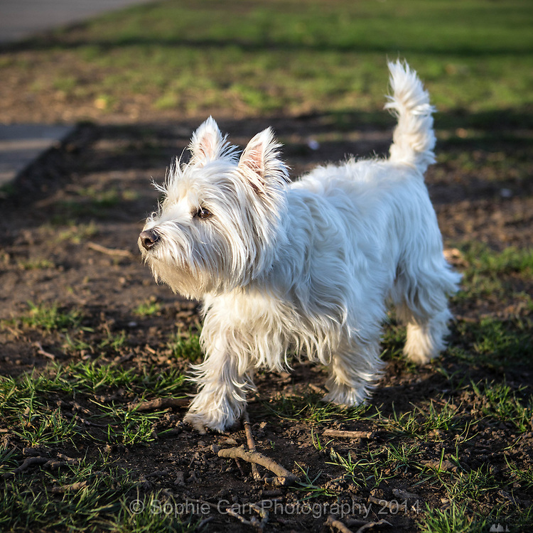 Local dogs in London - this is Mac the West Highland White Terrier (westie)