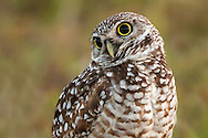 The burrowing owl is a medium-size bird growing up to nine inches tall. Along with its white eyebrows, brilliant yellow eyes, and extremely long legs, this little owl is one of the cutest members of the Strigidae (typical owl) family.