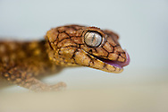 Thai bent toed gecko, Cyrtodactylus peguensis zebraicus, Australian Reptile Park, Somersby, New South Wales, Australia
