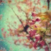 Softly textured cherry blossoms.<br />