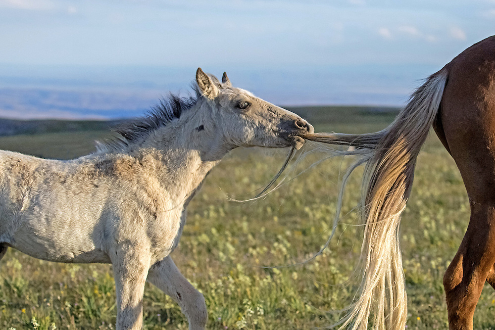 Playful and rambunctious, the  colt, Cloud's Pride, will do almost anything for attention. Here, he pulls the tail of his band mate, the young stallion, Missoula, in an attempt to initiate play. Although his efforts were unsuccessful, Pride eventually found a playmate in one of the younger foals on the mountain.