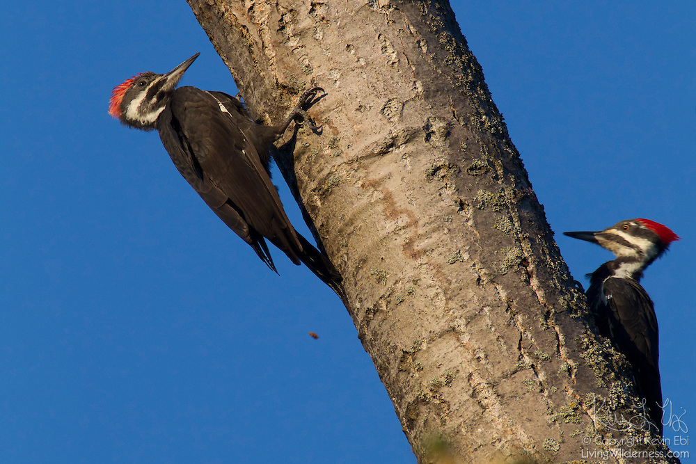 Two pileated woodpeckers (Dryocopus pileatus) peck at opposite sides of a tree in Heritage Park, Kirkland, Washington.