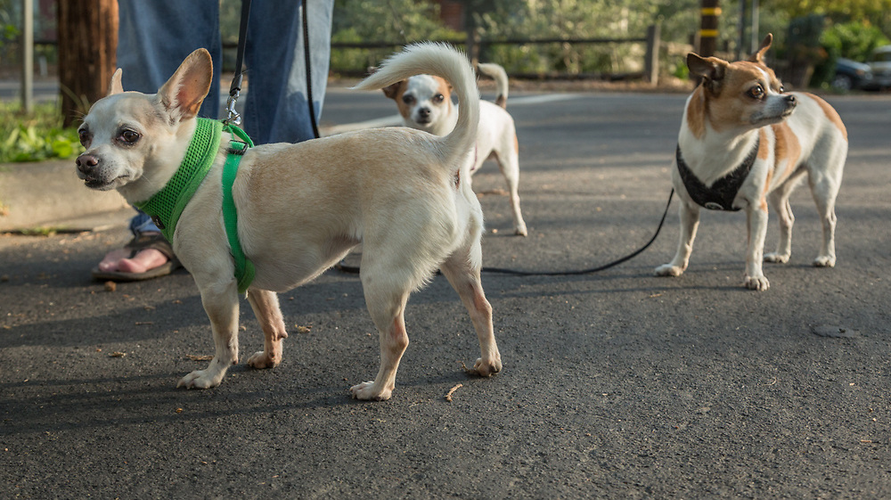"""Chef Danny Bobovnyik walks his three Chihuahuas: Sophie, Coco and Figaro on North Oak Street in Calistoga  """"Two of these are rescues...and one is a princess."""""""