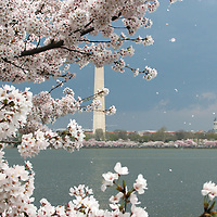 Scenes from the Washington, D.C. Cherry Blossoms