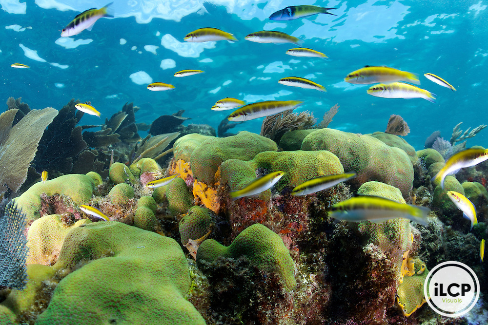 In shallow water beneath the surface small fish called Bluehead Wrasse swim over the hard coral.