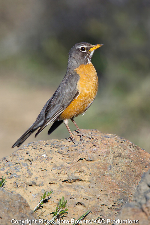 American Robin .Turdus migratorius.Cabin Lake, Oregon, United States.4 May     Adult Female       Turdidae