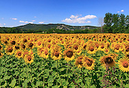 I spotted this marvelous field of sunflowers while wandering about the countryside near to Vallon Pont d'Arc in Ardeche, southern France. A classic view actually: there are sunflowers - and lavender - fields everywhere around in the countryside in this period, so the toughest thing to do is just picking one among the multitude... This one immediately caught my eye for its vastness and vibrant colours.Taken on a late morning at the beginning of July.