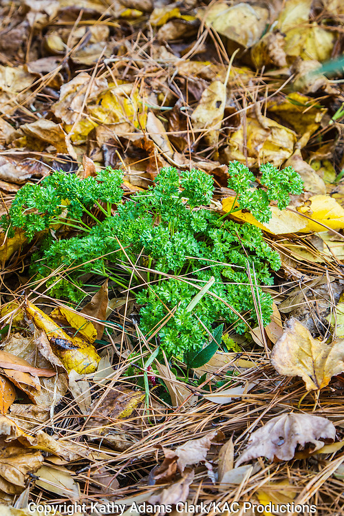 Parsley, in a garden flower bed, with autumn leaves, as mulch, around the base, The Woodlands, Texas
