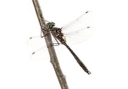 American Emerald (Cordulia shurtleffi)<br /> WISCONSIN: Oneida Co.<br /> 8535 Bo-di lac Rd, Minoqua <br />  45.876839, -89.901170 <br /> 11-June-2014<br /> J.C. Abbott #2666 &amp; K.K. Abbott